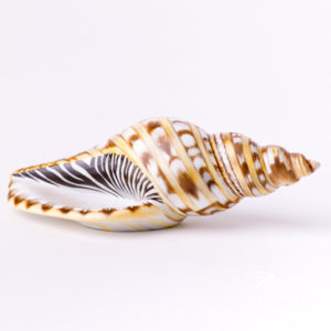 "Sea Snail 15535 MCD Naturalistic Matte surface decor. Herend Fine china animal figurine. Hand painted. Length: 12.7 cm (5""L)"